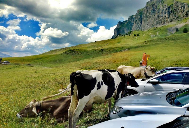 Kühe auf dem Pragelpass lehnen sich gerne an Autos an