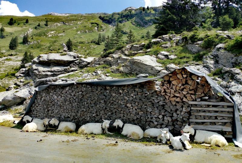 Ziegen nutzen den Schatten einer aufgeschichteten Holzbeige auf em Pragelpass