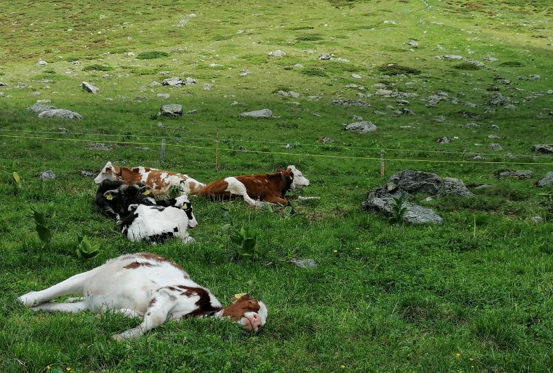 Lazy calves relax in the Dischma Valley
