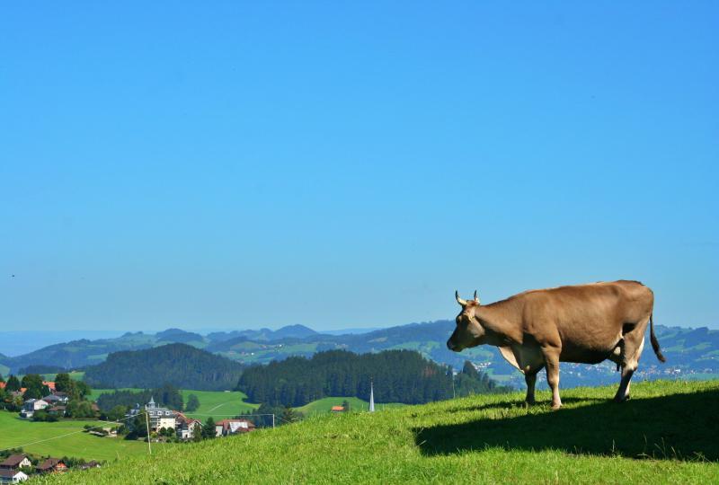 Bei Schwellbrunn: Kuh geniesst den Überblick